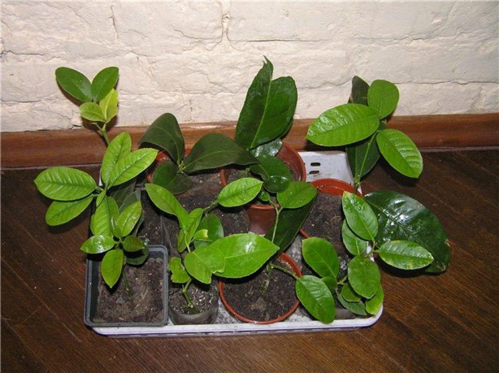 Выращивание фейхоа в домашних условиях на подоконнике: как цветет растение