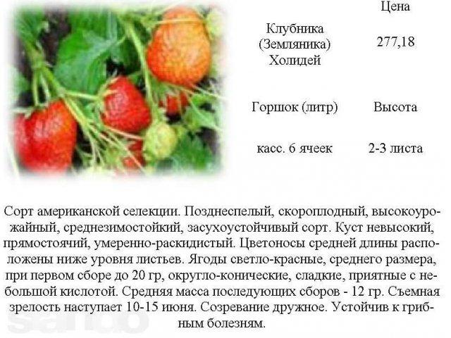 Земляника (клубника) холидей: описание сорта, фото, отзывы