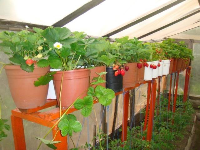 Как вырастить землянику в горшках - особенности посадки и ухода