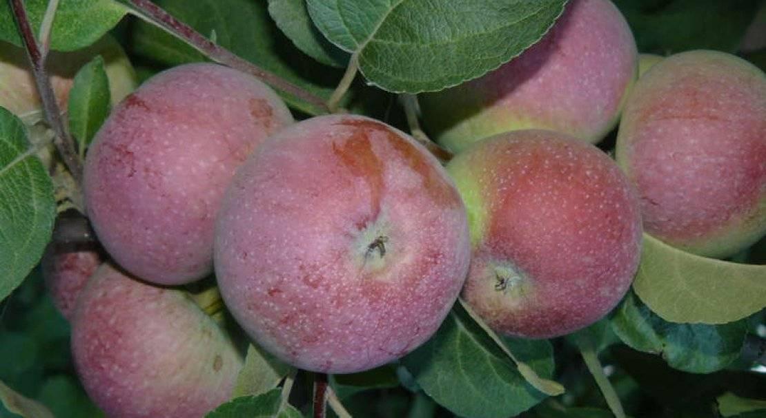 Яблони сорта лобо: посадка и уход selo.guru — интернет портал о сельском хозяйстве