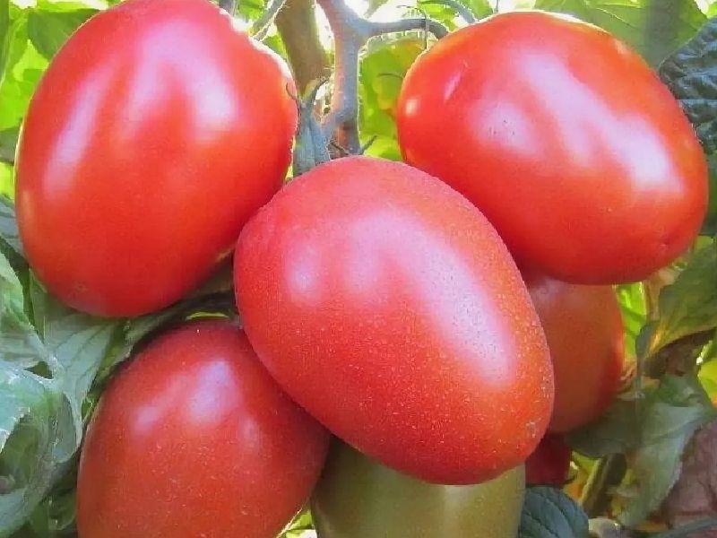 Как посадить и вырастить томат «султан»