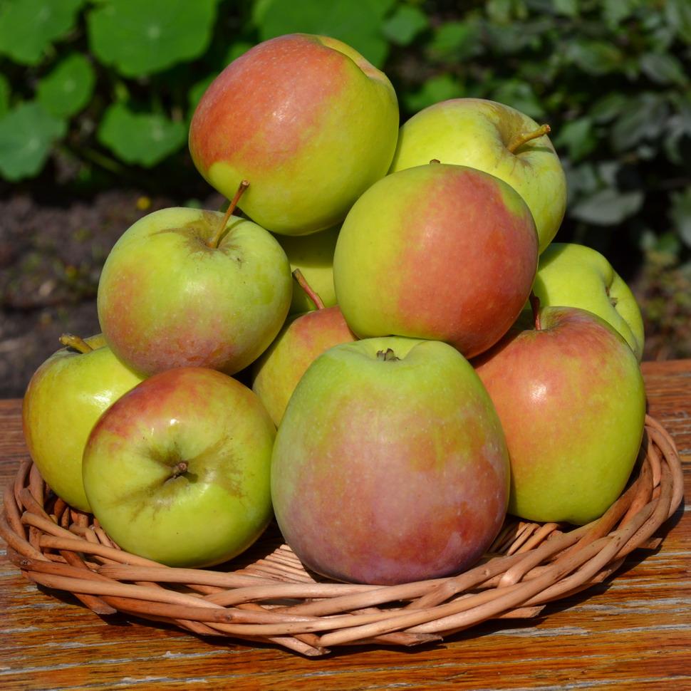 Многообразная яблоня гала