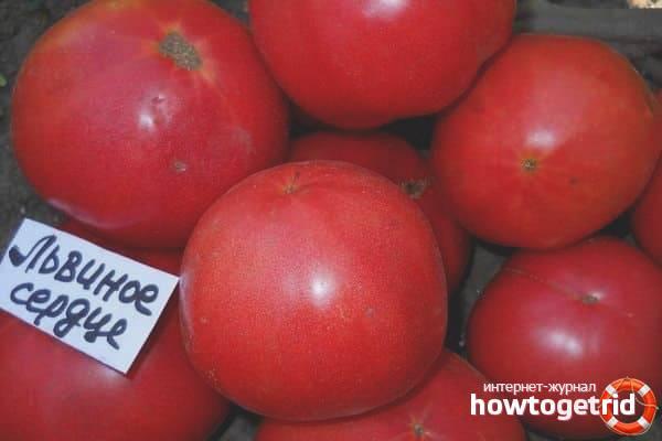 Томат львиное сердце f1: описание сорта, урожайность, фото