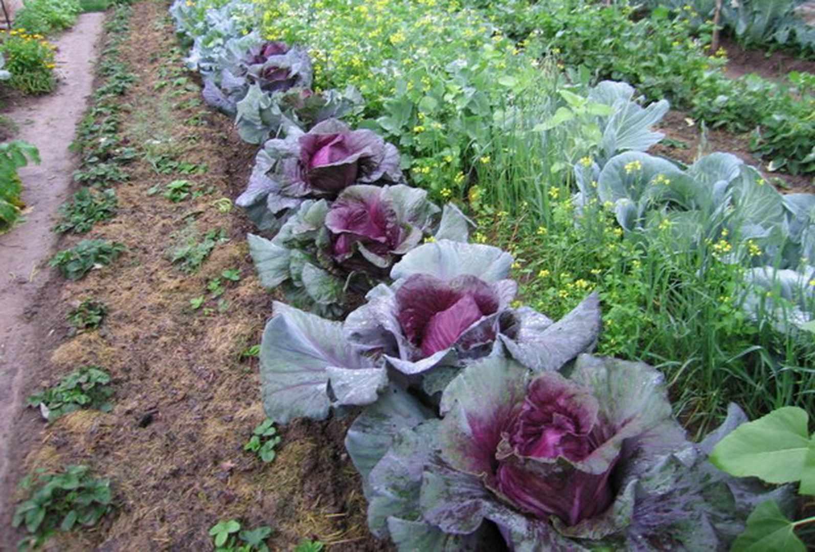 Краснокочанная капуста - выращивание и уход за сортом