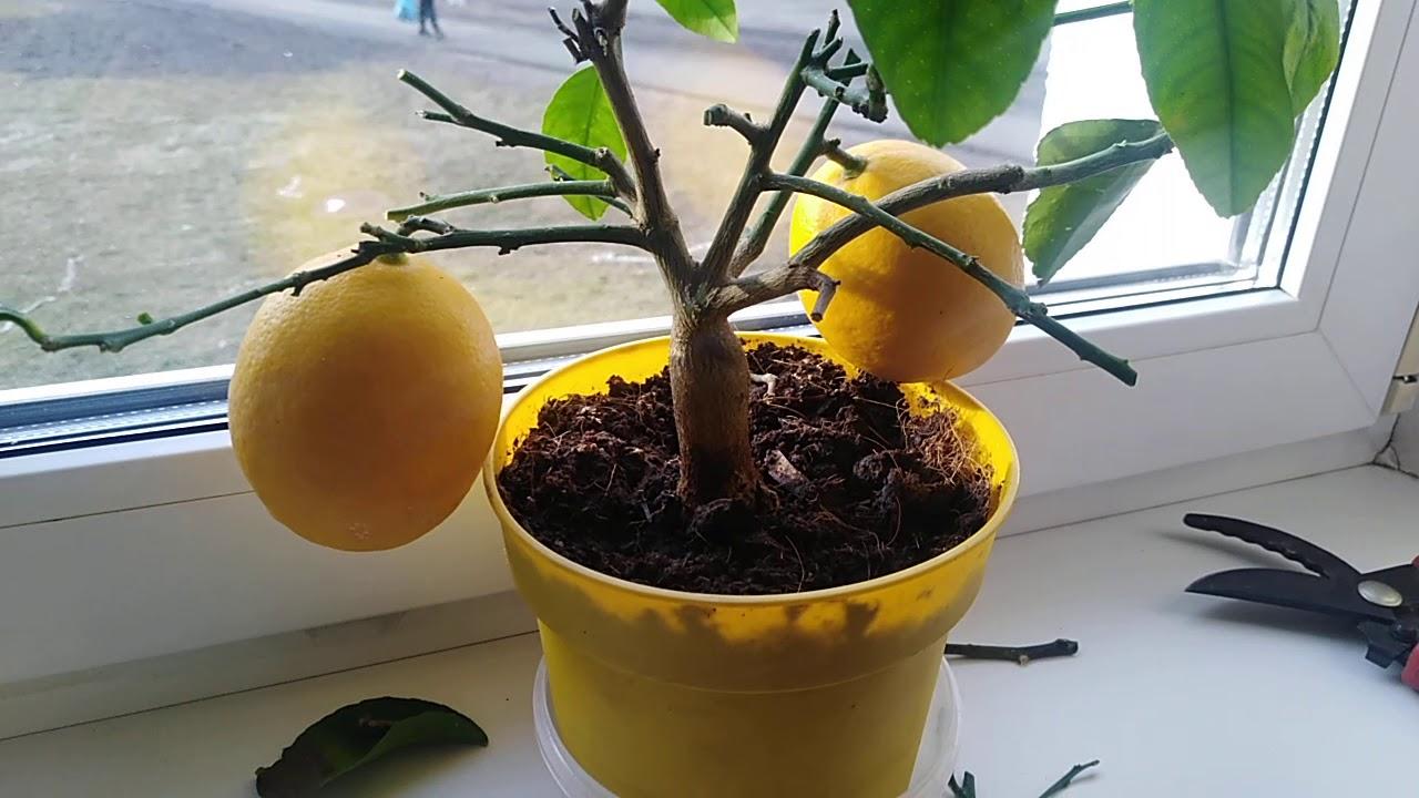 Почему не плодоносит лимон дома: как заставить плодоносить без прививки