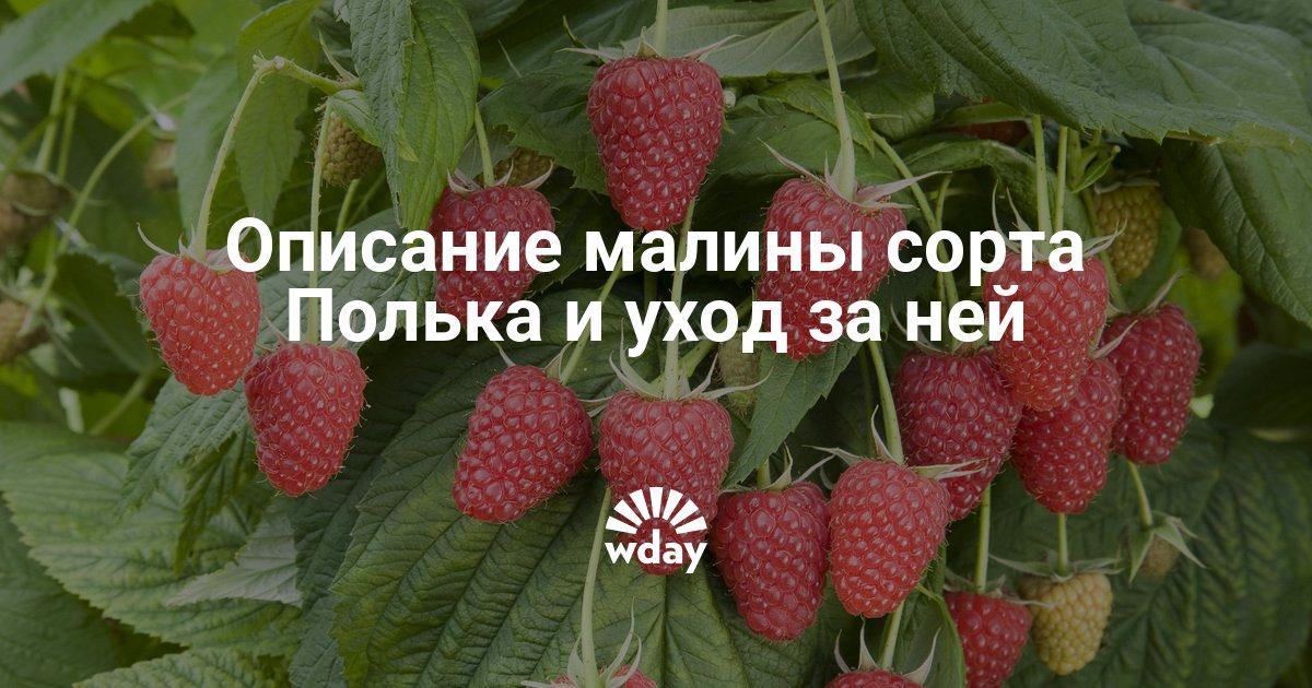 Сорт малины полька
