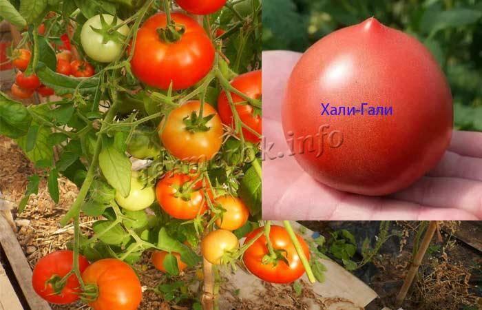 """Томат """"хали-гали"""": характеристика и описание сорта, выращивание, фото помидоров русский фермер"""