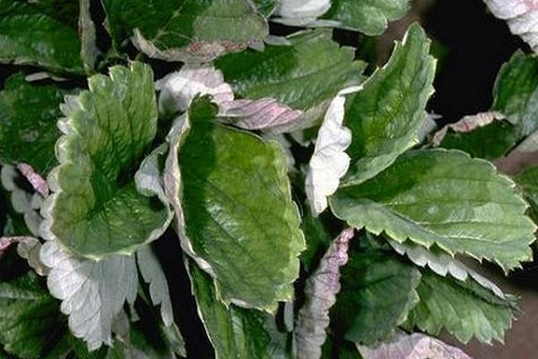 Почему скручиваются листья у клубники - советы по устранению проблем при выращивании клубники + 110 фото