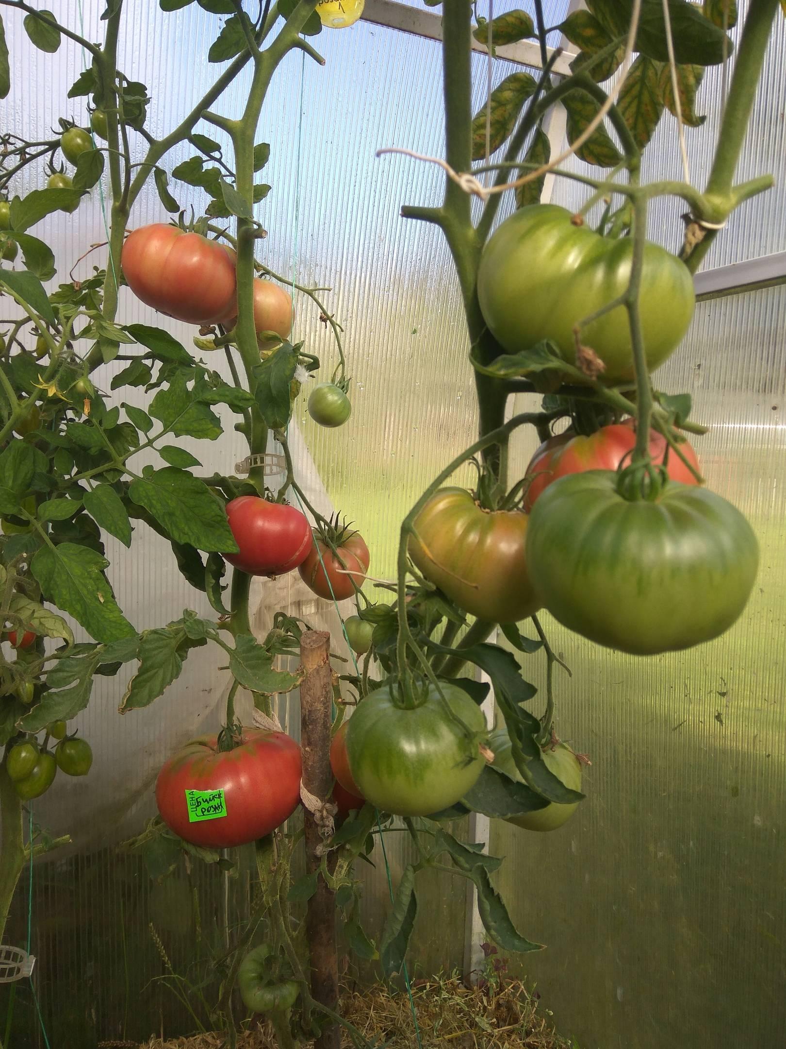 Один из лучших сортов алтайской селекции — томат «бийская роза» — описание и рекомендации по уходу