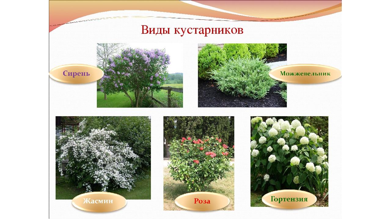 Многолетние кустарники для сада, дачи и огорода: названия декоративных и цветущих культур с фото