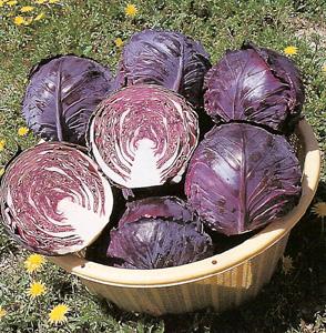 Как посадить и вырастить краснокочанную капусту в открытом грунте