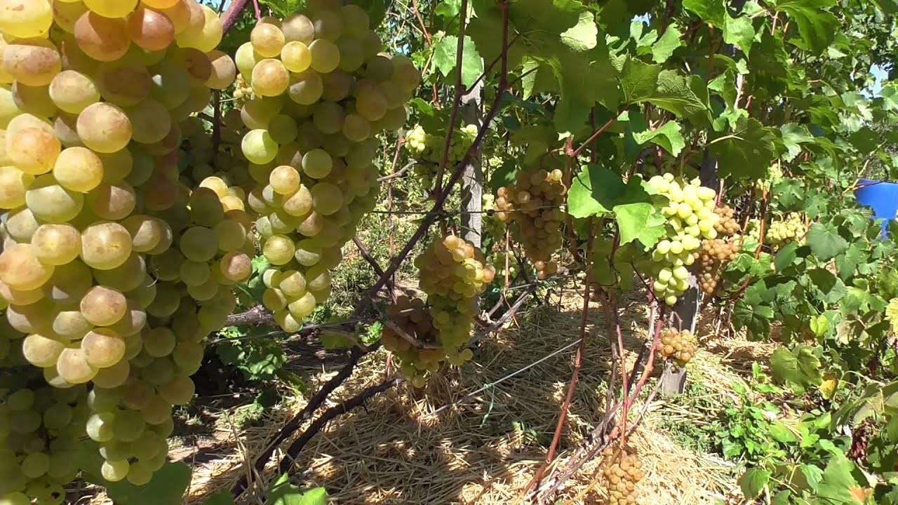 Сорт бианка – сайт о винограде и вине