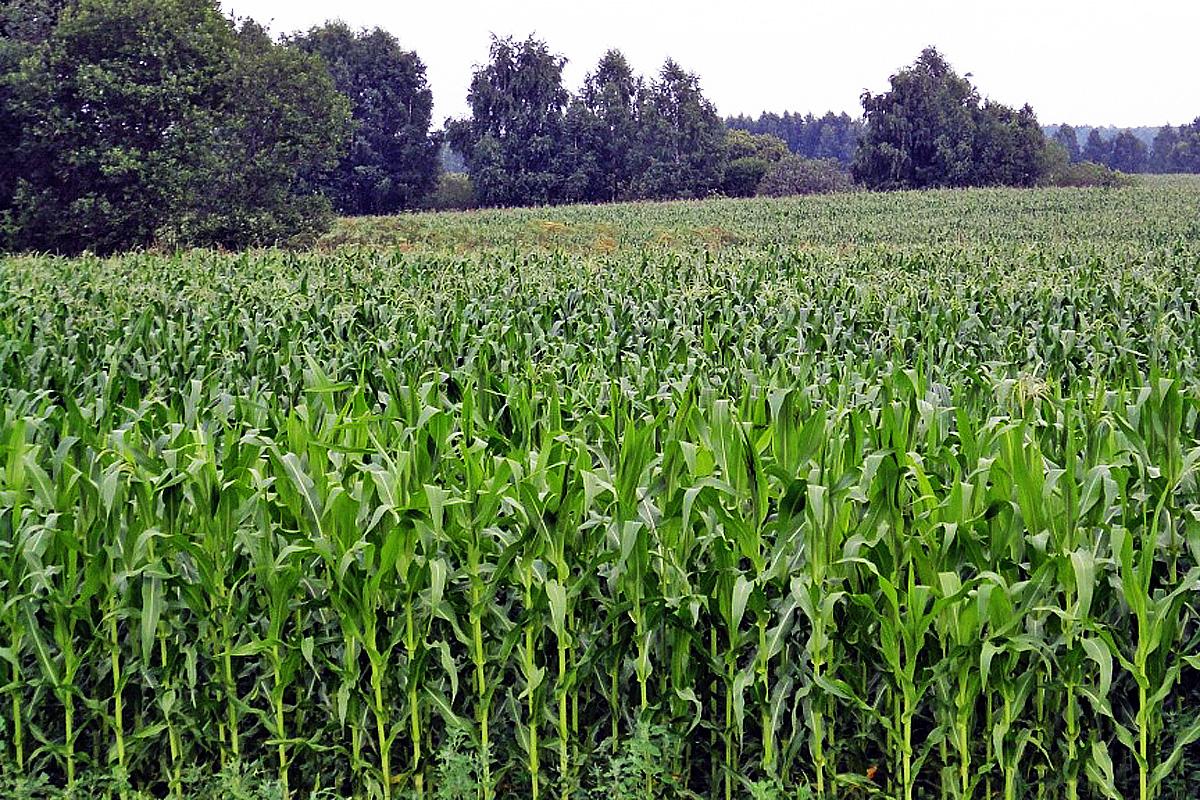 Технологическая карта возделывания кукурузы на силос, нормы высева и урожайность с 1 га