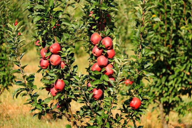 Посадка колоновидной яблони, советы когда сажать, на каком расстоянии, правильная схема