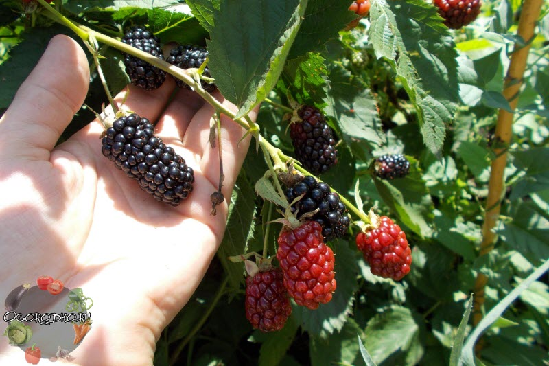Выращивание ежевики: посадка, уход и борьба с вредителями