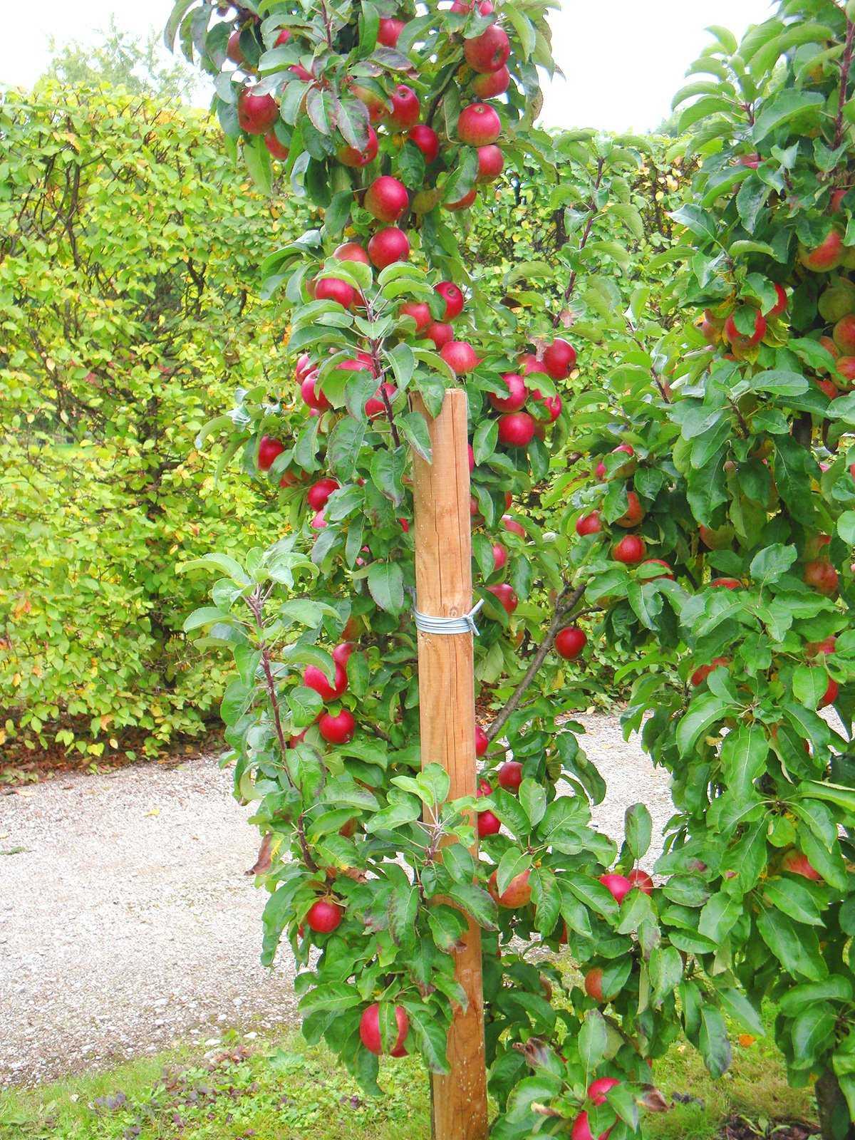 Низкорослые плодовые деревья для сада - сад