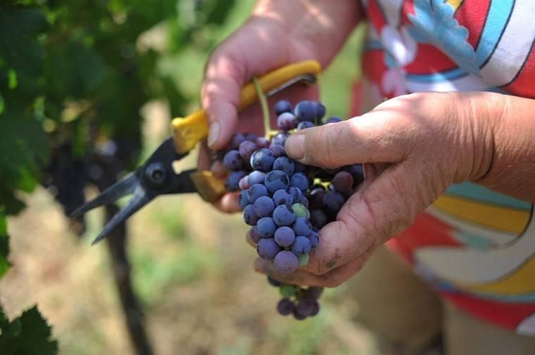 Виноград «валентина»: особенности перспективной гибридной формы