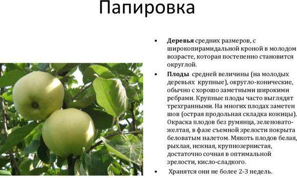 Яблоня зимняя красавица: особенности сорта и ухода
