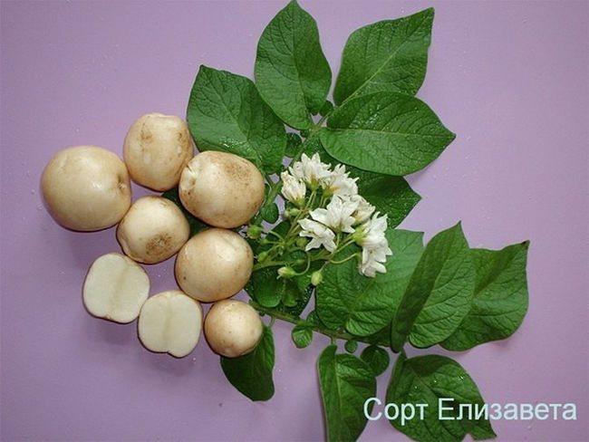 Картофель елизавета: описание и характеристика, отзывы