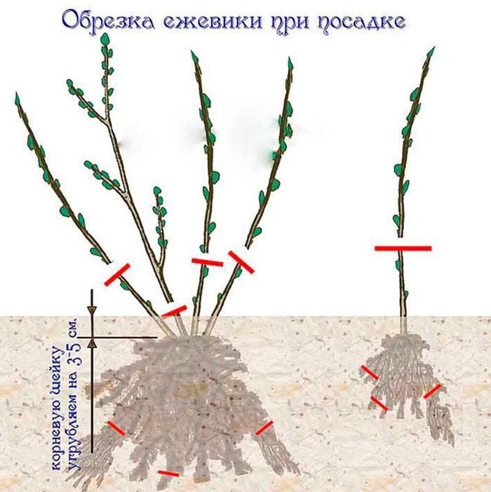 Все тонкости размножения ежевики на грядке, в теплице и дома на подоконнике
