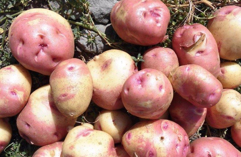 Картофель иван да марья - описание сорта с фото, характеристики, правила выращивания и ухода