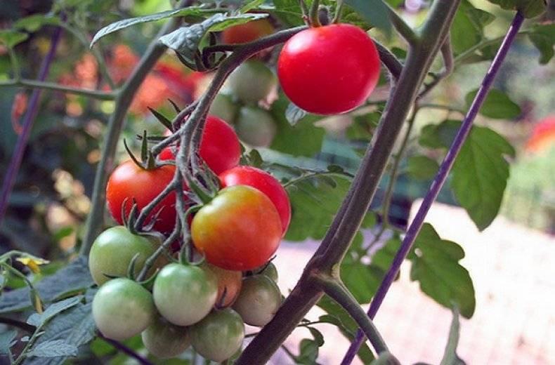 Описание томата Афродита f1 и выращивание сорта рассадным методом